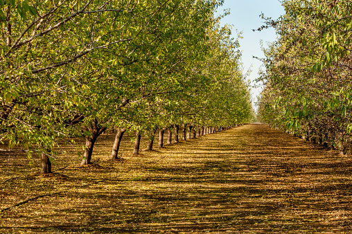 Almond orchard, Central Valley, California.