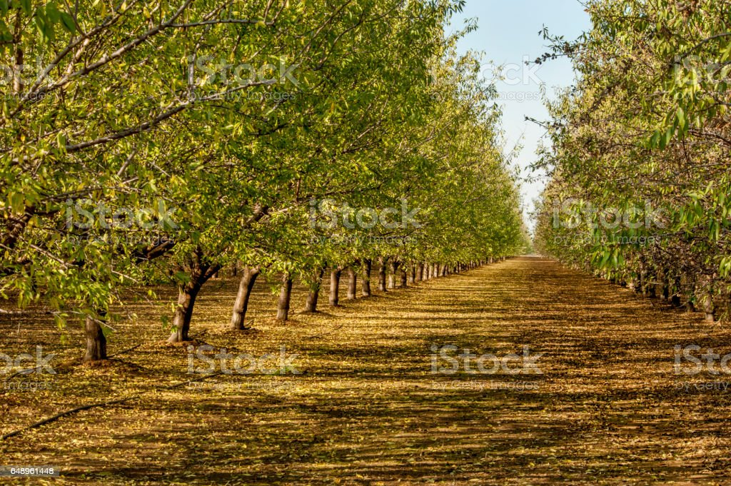 Almond Orchard, California stock photo