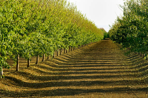 almond orchard, central valley, california - almond stock photos and pictures