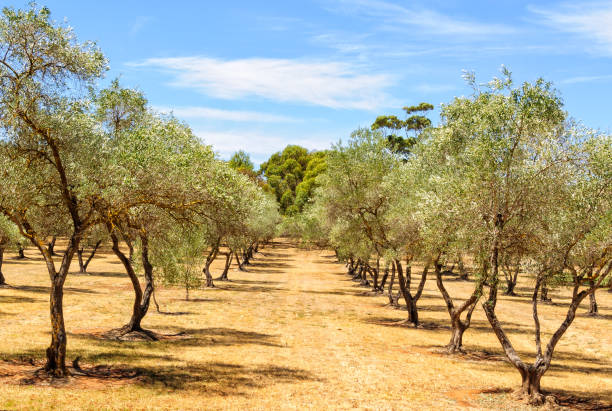 Almond orchard - Clare Valley stock photo