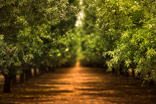 Almond Orchard In The Salinas Valley Of California Usa Stock Photo - Download Image Now