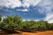 Almond trees cultivated in an orchard in the Salinas Valley, California USA