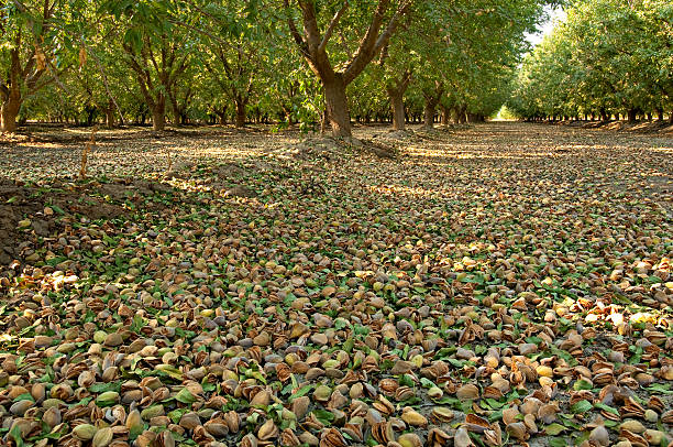 Almond Orchard Nuts stock photo