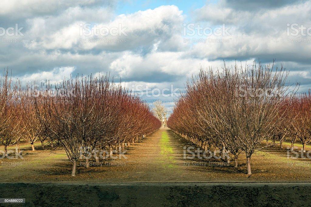 Almond orchard stock photo