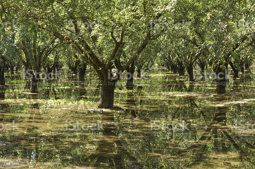 Almond Orchard Relecting in Irrigation Water stock photo