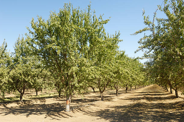 Almond Orchard With Fruit on Trees stock photo