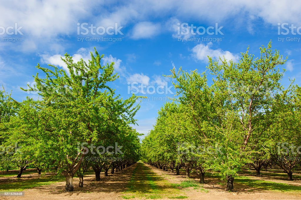 Almond Orchard With Ripening Fruit on Trees stock photo