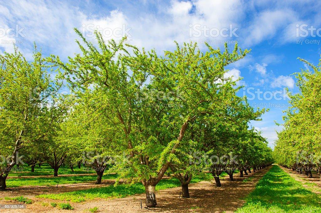 Almond Orchard con Ripening frutas en los árboles - foto de stock