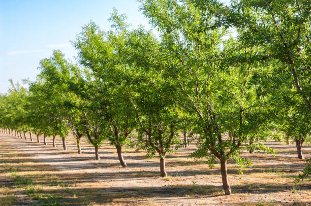 almond orchard with ripening fruit on trees - frutteto foto e immagini stock