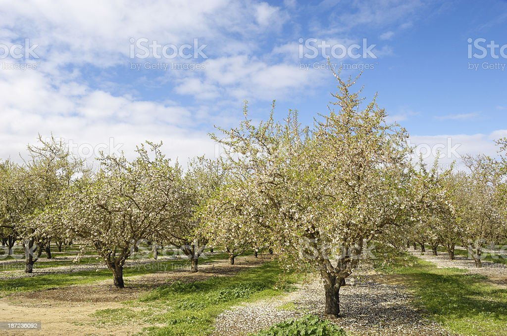 Almond Orchard with Springtime Blossoms royalty-free stock photo