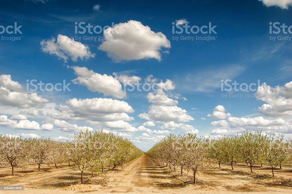 Almond Orchard with Springtime Blossoms stock photo
