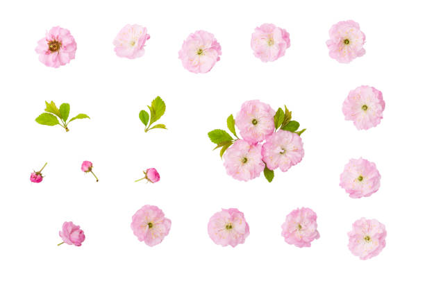 Almond pink flowers, green leaves and  bud isolated on white background with clipping path stock photo