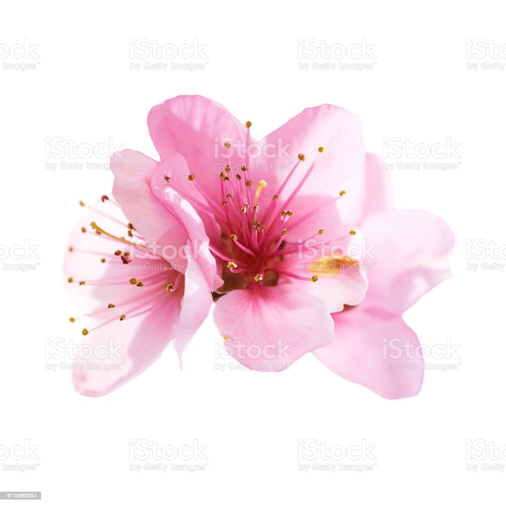 Almond pink flowers isolated on white stock photo