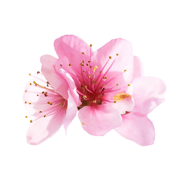 almond pink flowers isolated on white - blossom stock pictures, royalty-free photos & images