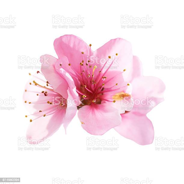 Photo of Almond pink flowers isolated on white