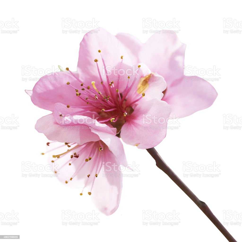 Almond pink flowers stock photo