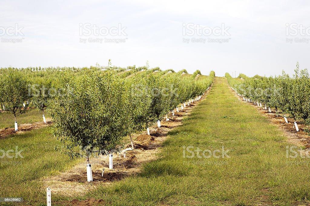 almond plantation royalty-free stock photo