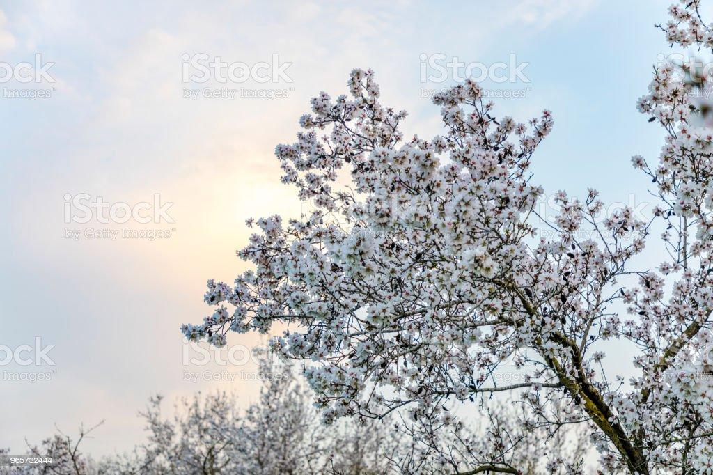Almond tree big branch bloom at colourful sunset - Стоковые фото Без людей роялти-фри