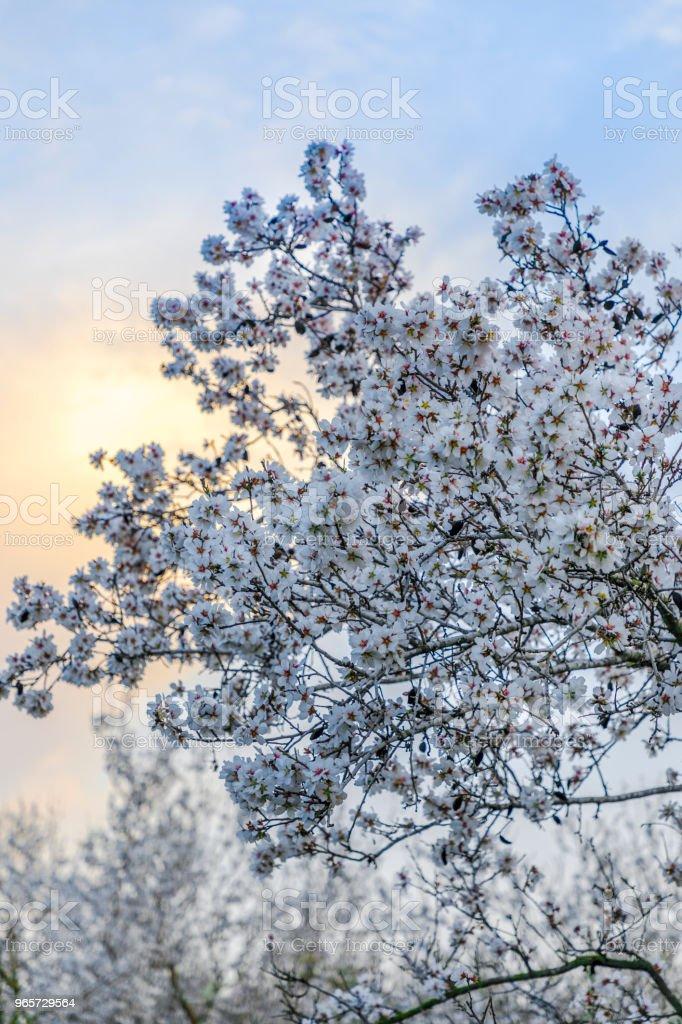 Almond tree big branch bloom at sunset cloud - Стоковые фото Без людей роялти-фри