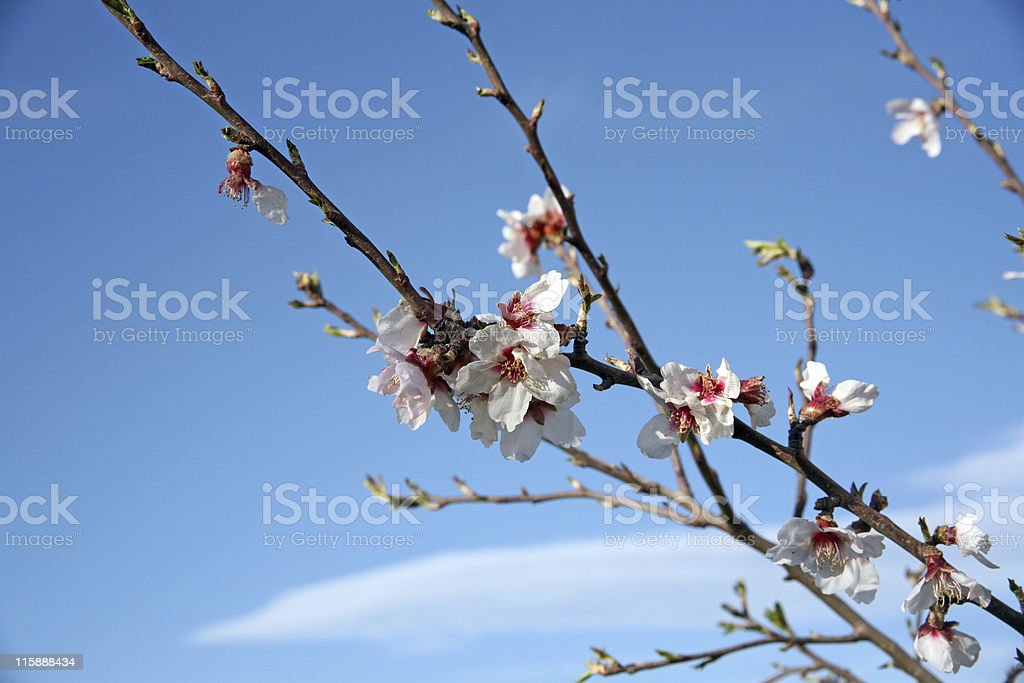 Almond tree blossom royalty-free stock photo
