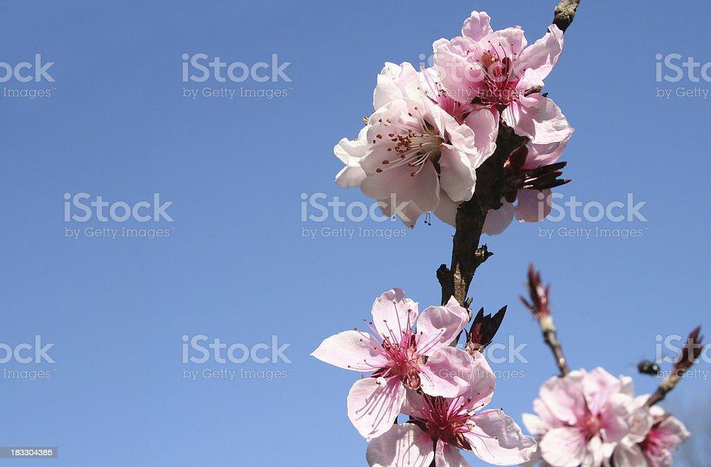 Almond Tree Blossom royalty-free stock photo