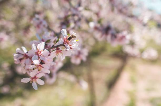 Almond tree flower stock photo
