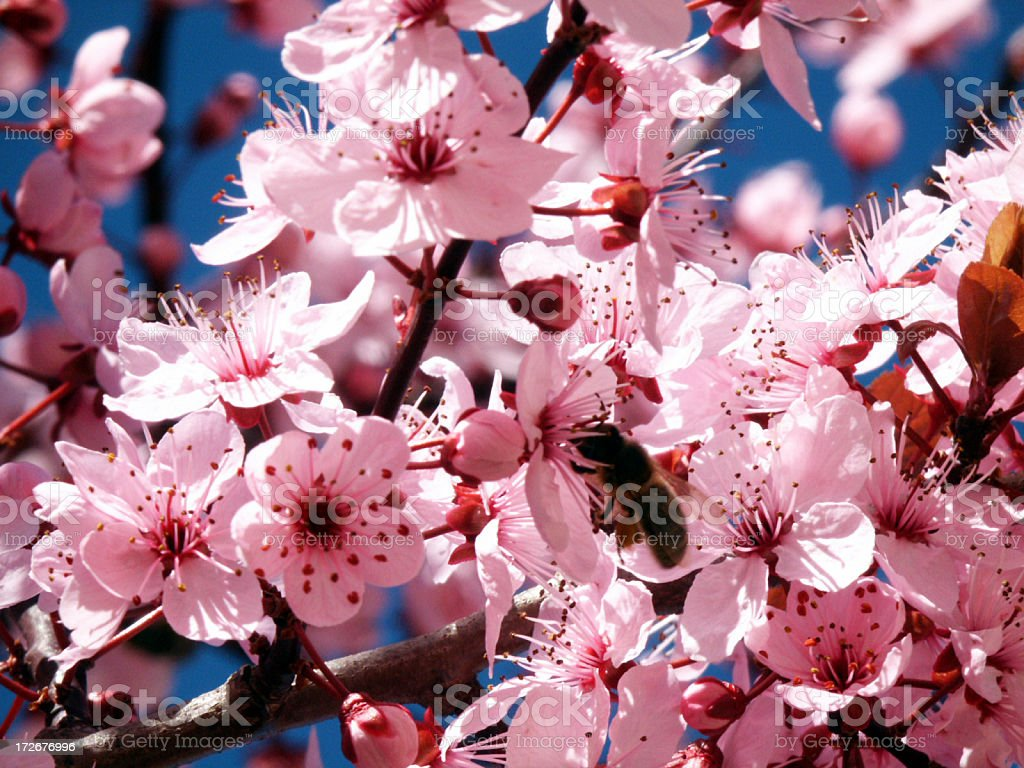 almond tree flower royalty-free stock photo