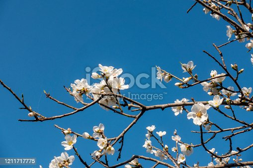 Almond tree flowers aganist the blue sky