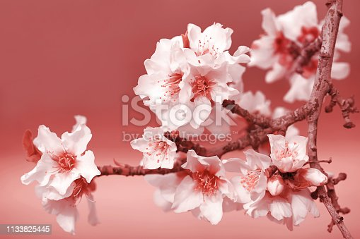 Almond Tree Flowers Coral Peach Pink White Purple Blossom Branch Spring Holiday Background Macro Photography Copy space