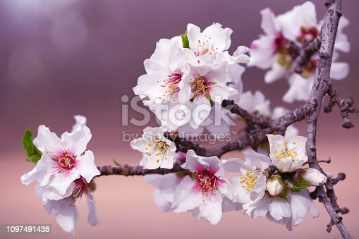 Almond Tree Flowers Pink White Purple Blossom Branch Spring Holiday Background Macro Photography Copy space