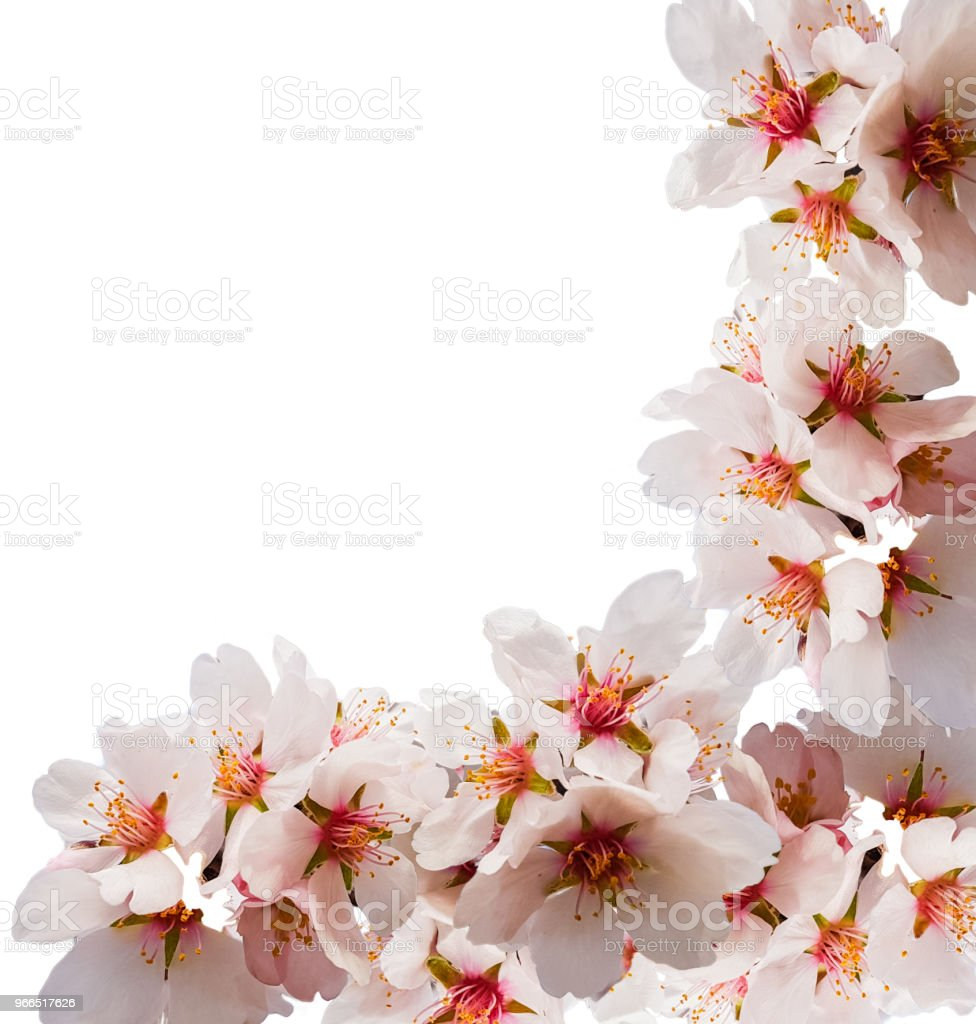 almond tree flowers spirng blue sky background stock photo