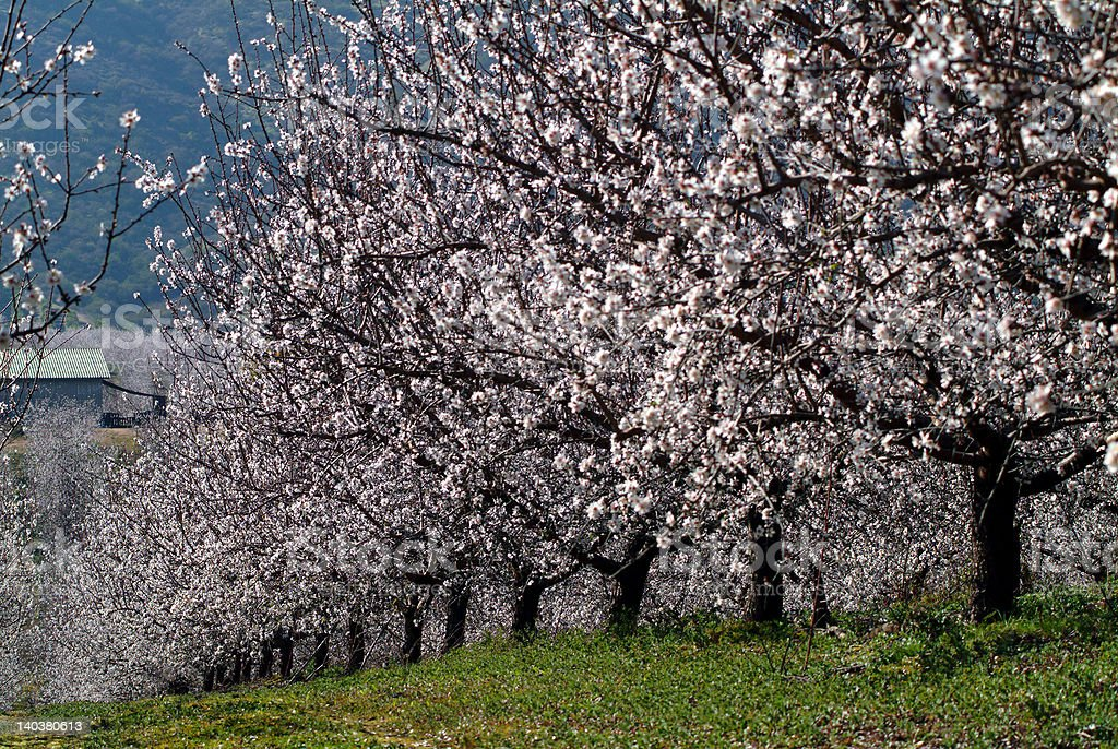 almond tree royalty-free stock photo