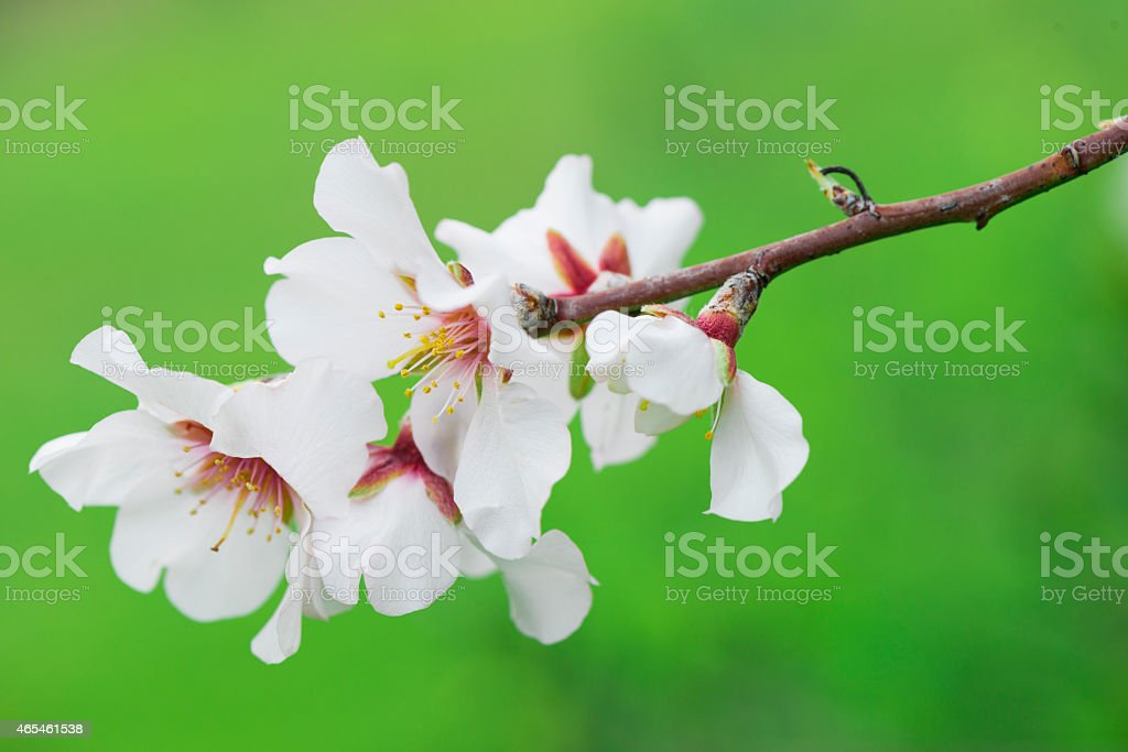 Almond tree Almond trees blooming in orchard. 2015 Stock Photo