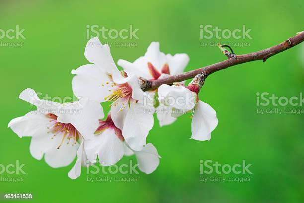 Almond Tree Stock Photo - Download Image Now