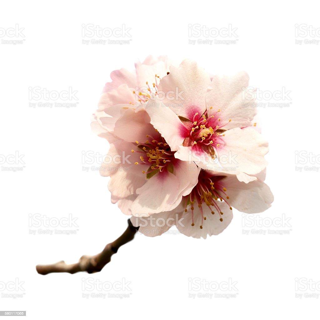 Almond tree pink flowers stock photo