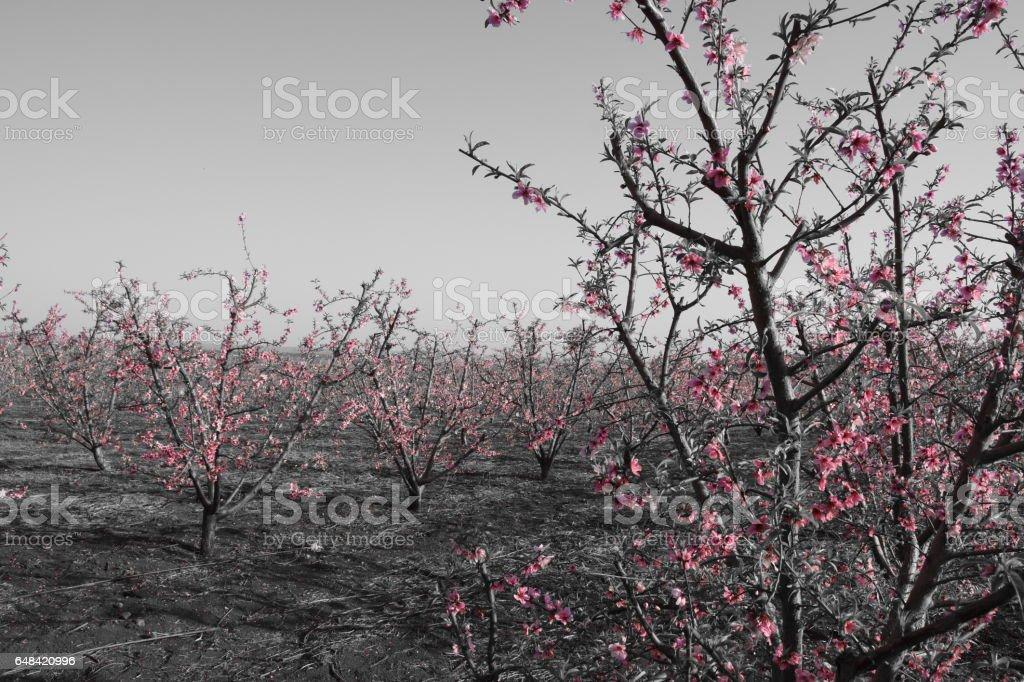 Almond tree plantation stock photo