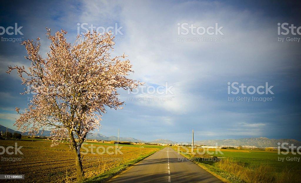 Almond tree road. royalty-free stock photo