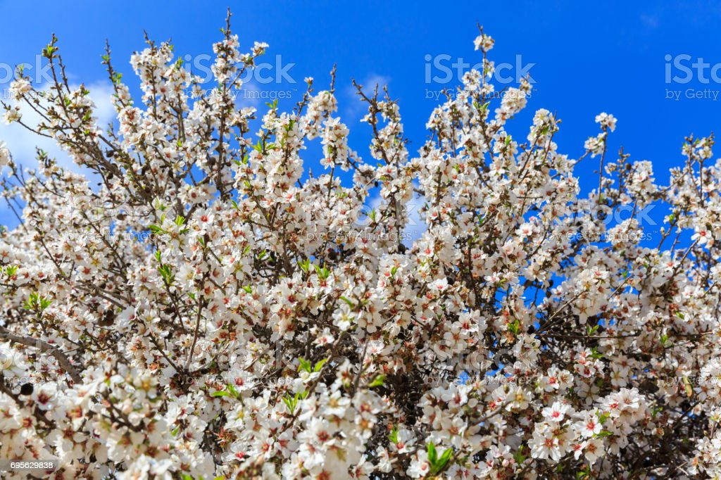 Almond Tree With Big White Flowers Stock Photo More Pictures Of