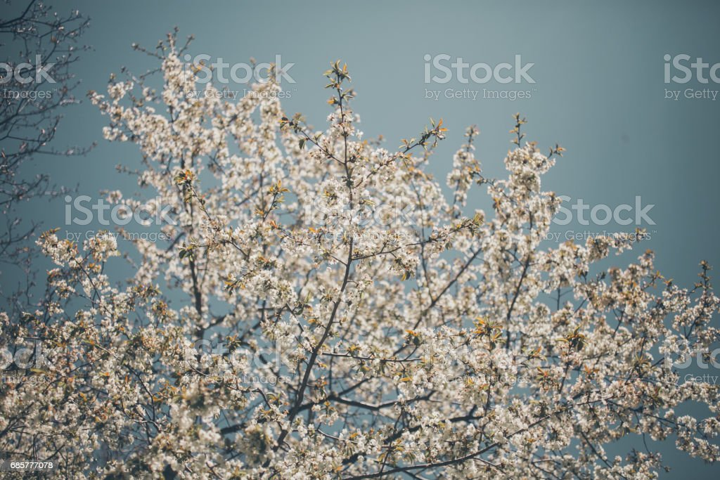 Almond trees blooming. Almond tree branches full of flowers. Flowers background in vintage style. Closeup of the branch of an almond tree in bloom. Almond tree background with white and pink flowers. royalty-free stock photo