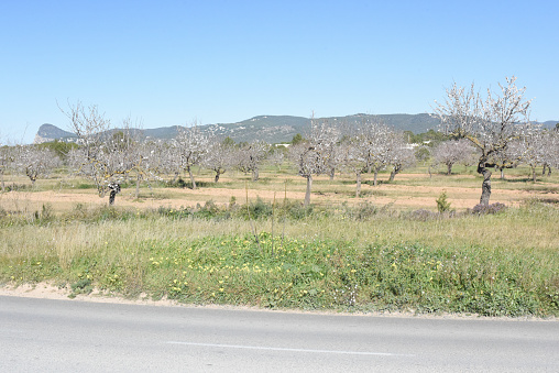 Almond trees blooming.