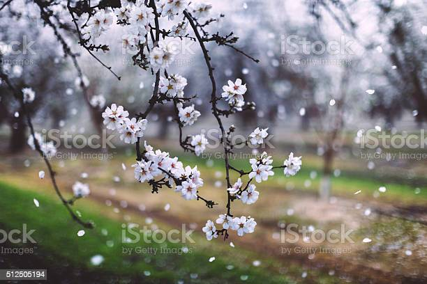 Almond trees blooming picture id512505194?b=1&k=6&m=512505194&s=612x612&h=y96qhxddouc8z1lv1wo1vsv09ntqgttsk l4l7dskw0=