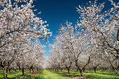 Almond trees blooming in orchard against blue, Spring sky.