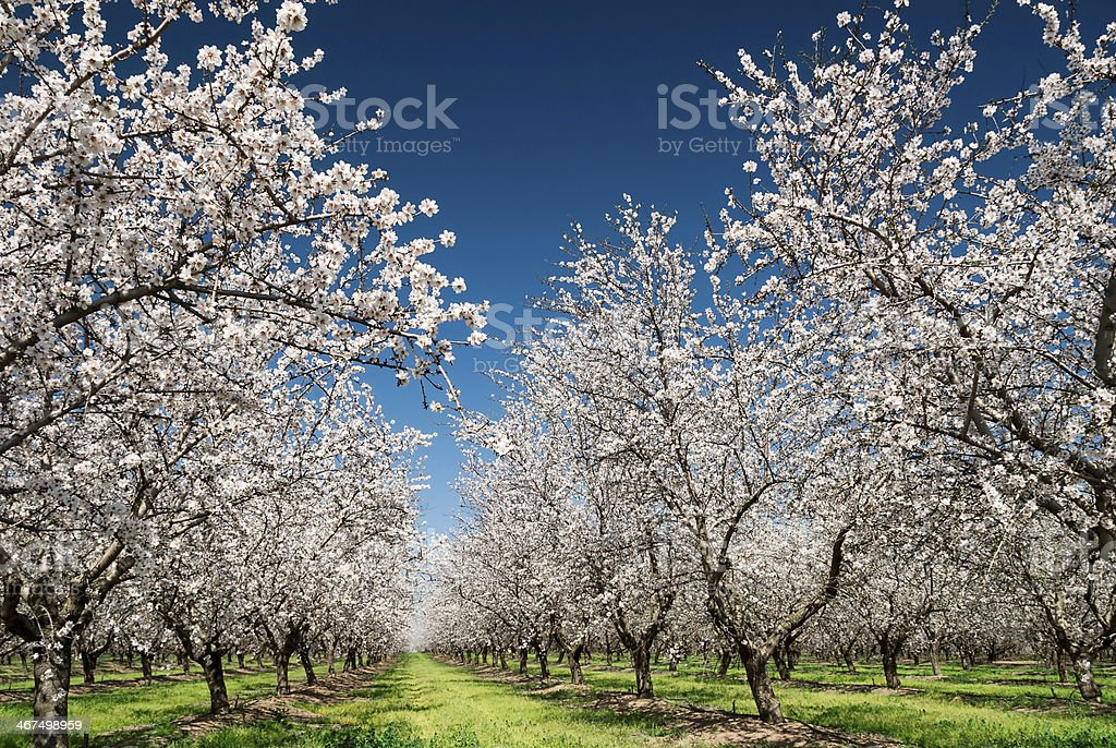 Almendros de Bloom - foto de stock