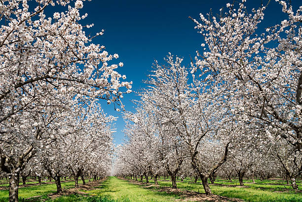 almond trees in bloom - blossom stock pictures, royalty-free photos & images