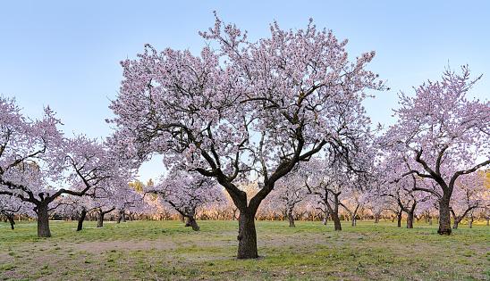 Almond trees in flower in Quinta de los Molinos Madrid