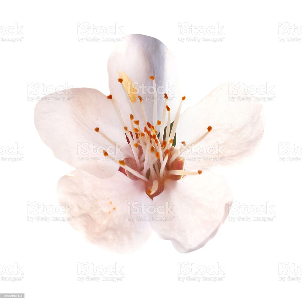 Almond white flowers stock photo