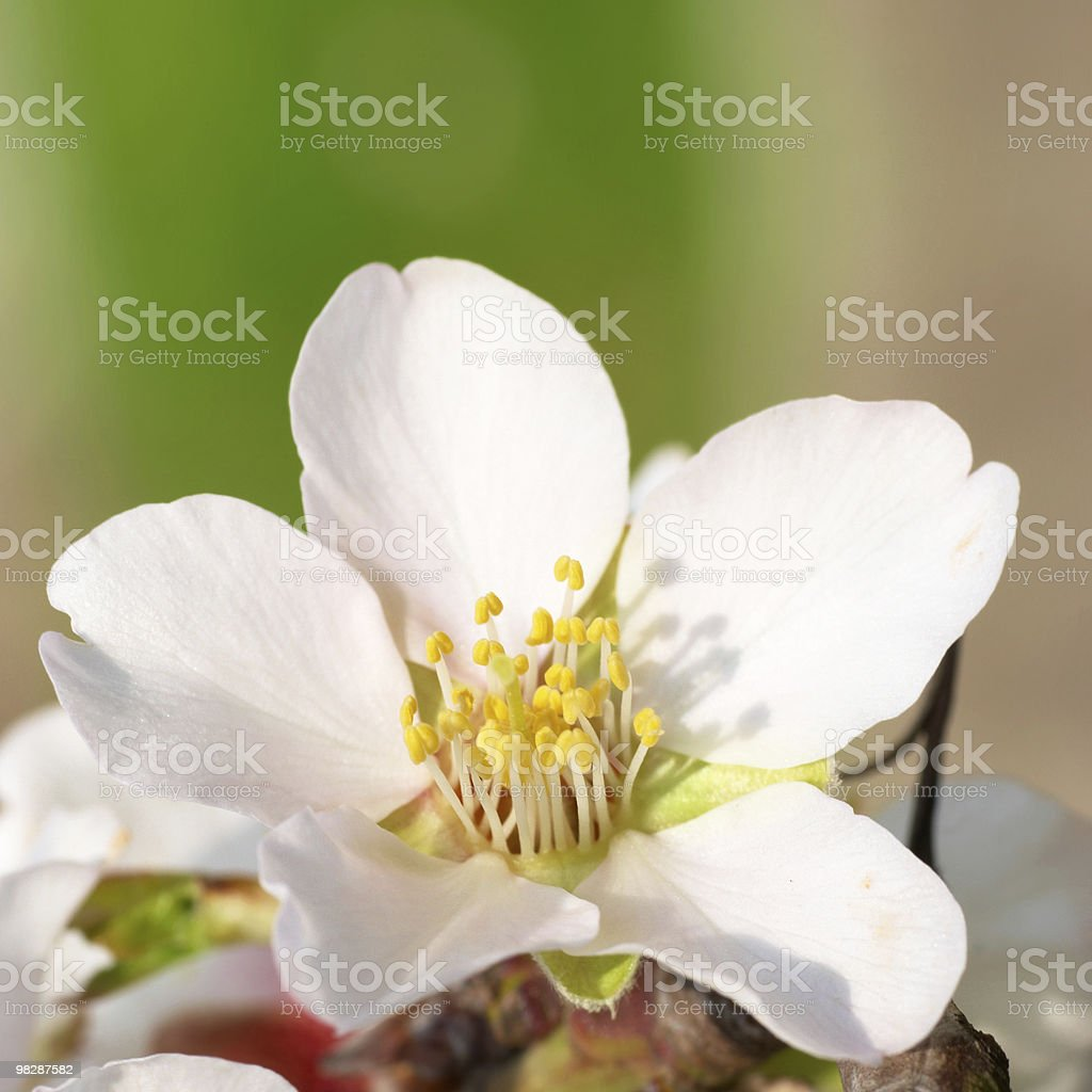 Almond white flowers royalty-free stock photo