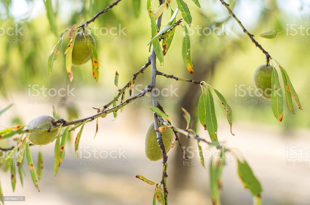 almonds almond tree bokeh green green stock photo