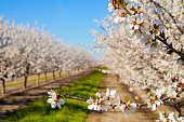 The almonds blossoms in the orchard with green grass in the middle of the rows