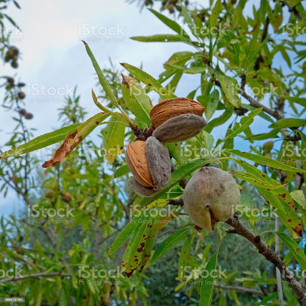 Almonds growth. stock photo